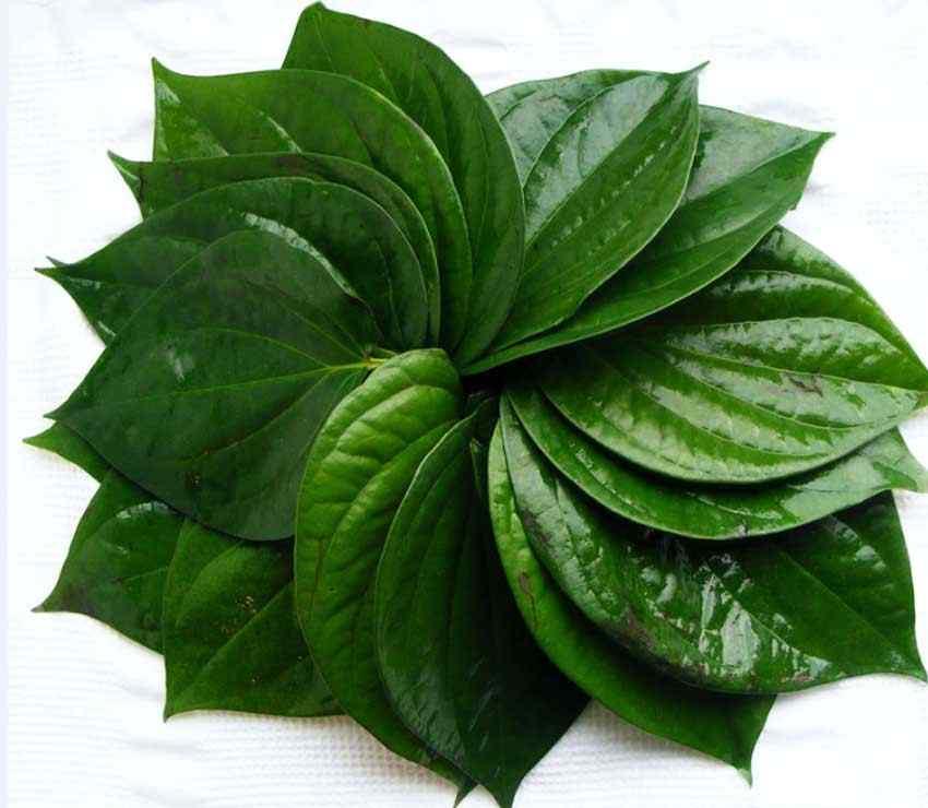 Manfaat-daun-sirih-untuk-kesehatan-dan-kecantikan